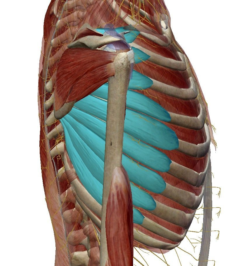 The individual bellies of the serratus anterior branches span 90 degrees or more in fiber direction